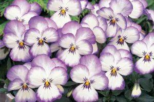 100 sfumature di viole, la mostra itinerante