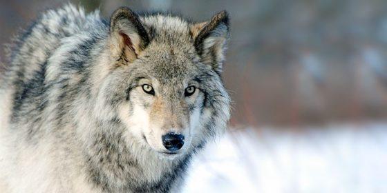 Il lupo nel parco del Ticino