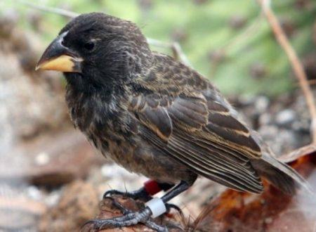 Big Bird, la nuova specie di fringuelli delle Galapagos