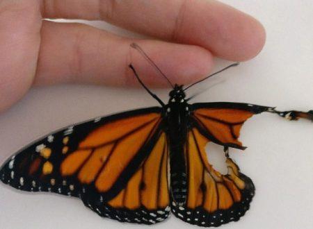Con ago e filo ripara le ali di una farfalla