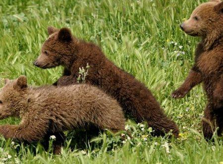 Api che salvano gli orsi