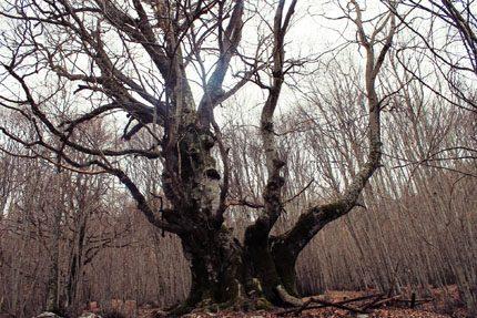 L'albero dell'anno: il faggio di Pontone