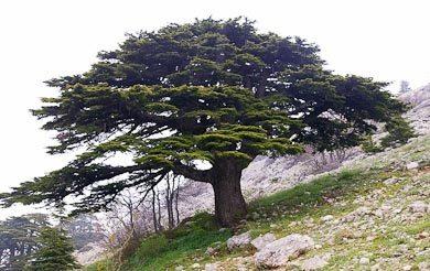 A rischio il cedro del Libano