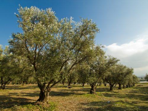 E il comune (di Pistoia) fa adottare gli olivi