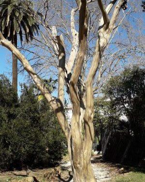Il bagolaro, un albero che sorprende